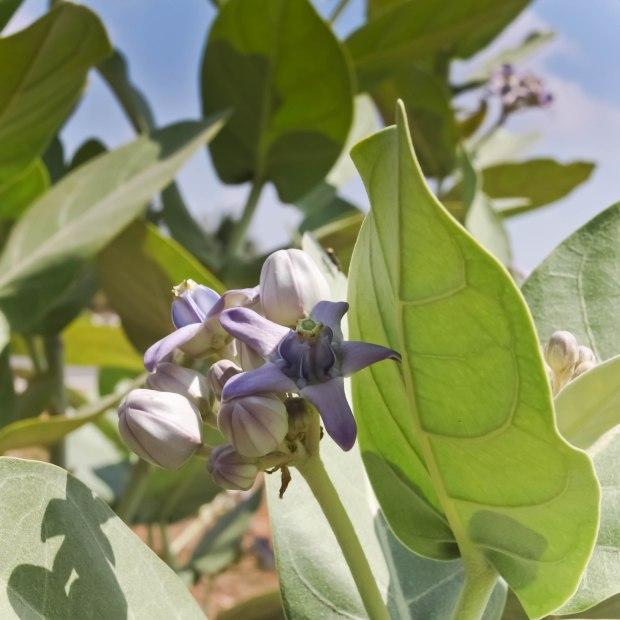 Fleur de Ganesha.Je ne me souviens plus de leur nom, mais c'est un buisson qui pousse sauvagement un peu partout.