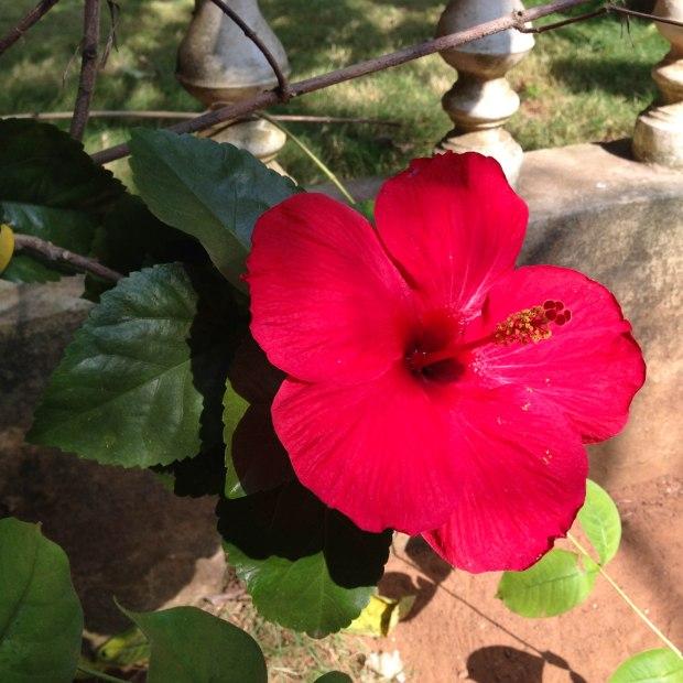 L'hibiscus, la fleur de Ganesha