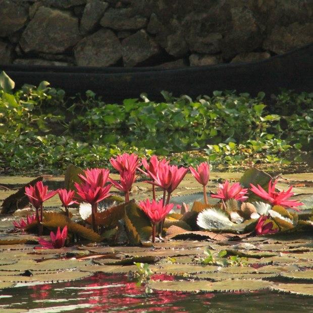Lotus sur les Backwaters