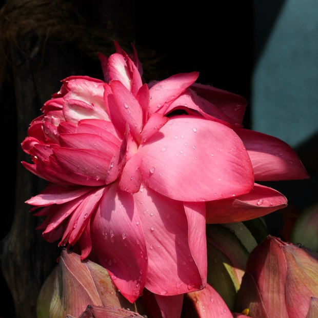 Le lotus rose, attaché à Lakshmi, la déesse de l'abondance et de la beauté