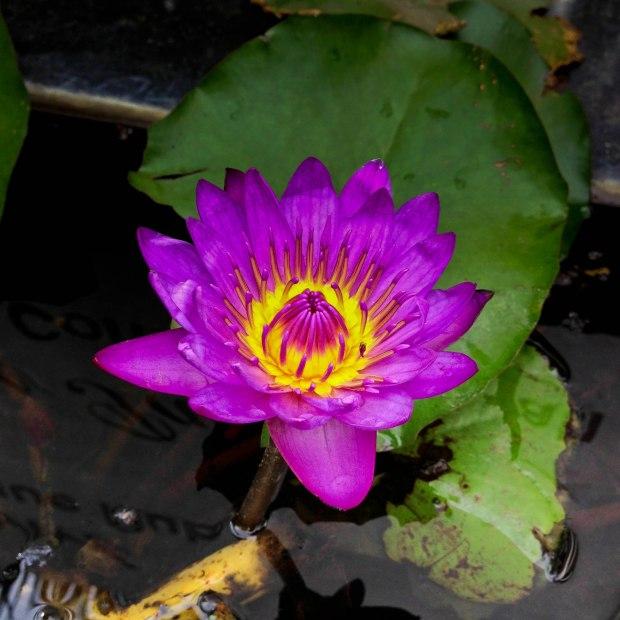 Un autre lotus, la fleur nationale indienne.