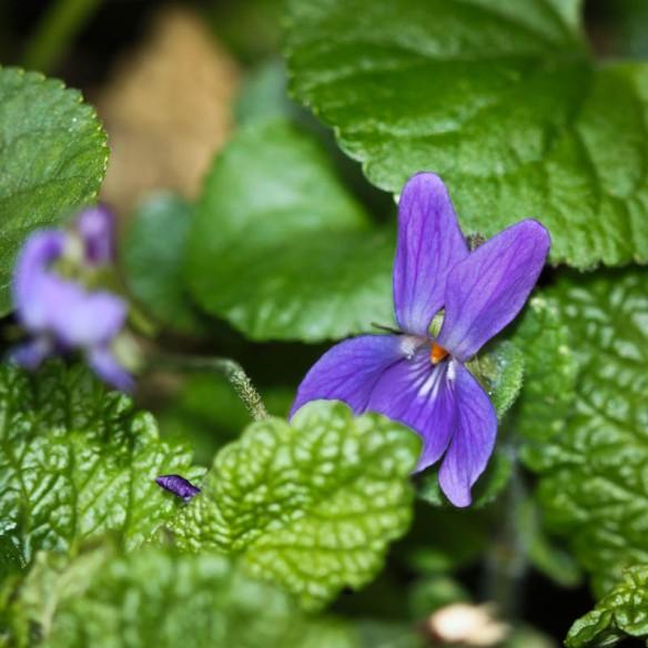 Violette 3