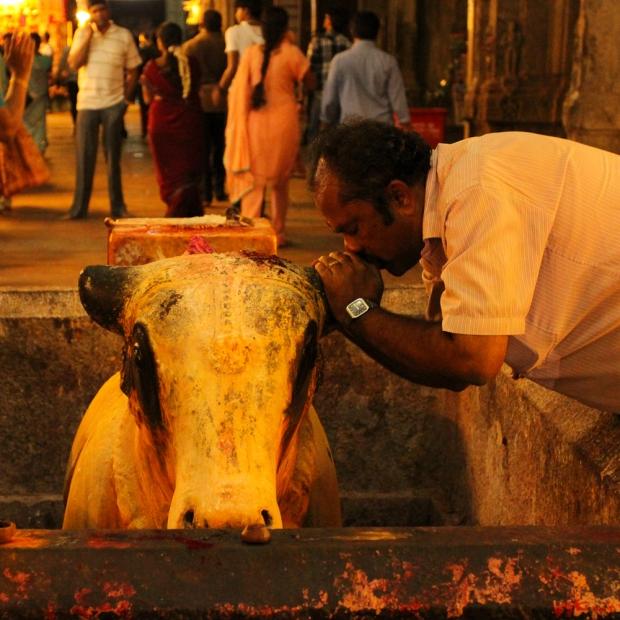 Homme qui susurre à l'oreille de la vache .Elle est considérée comme l'animal de compagnie des dieux Krishna et Shiva.