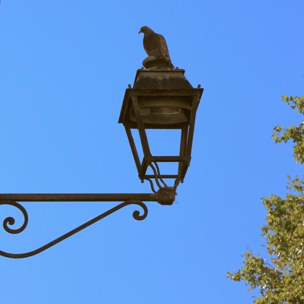 Pigeon-caméléon à Avignon