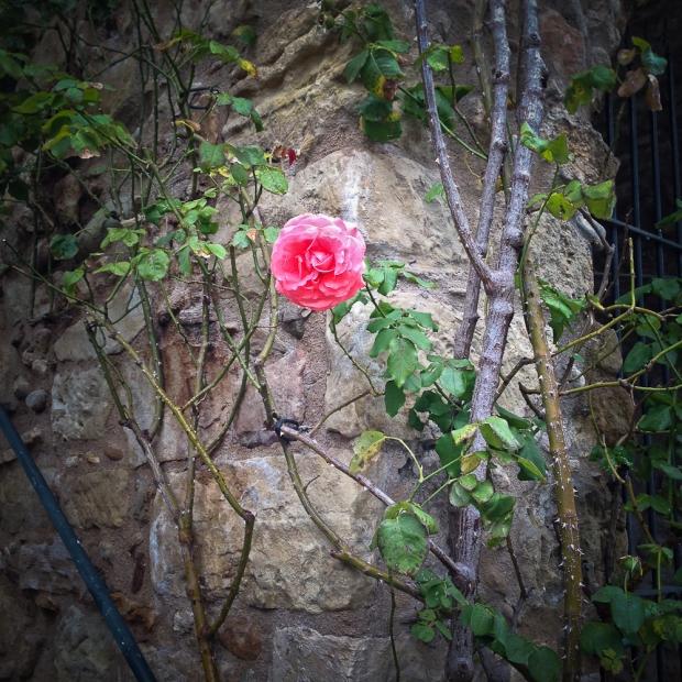 La rose perdue  de Villemagne l'Argentière