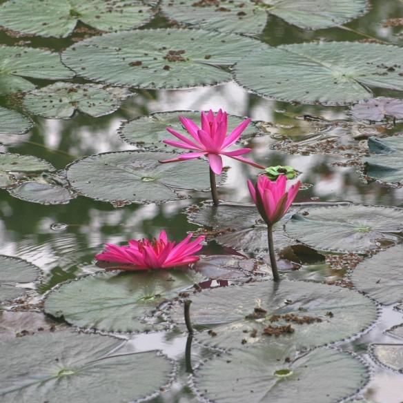 Lotus à Maï Chau