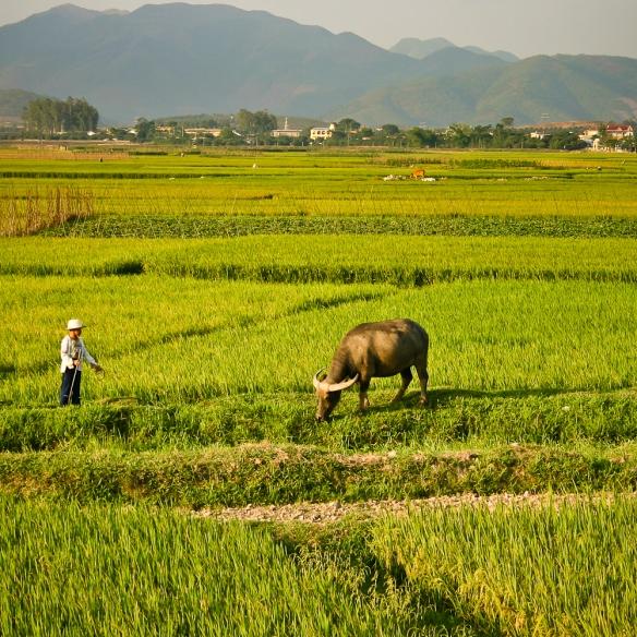 Soleil sur la rizière