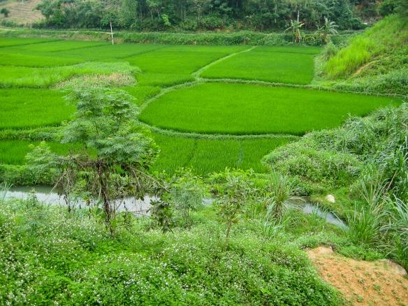 Vietnam . Rizières noyées de soleil et d'eau