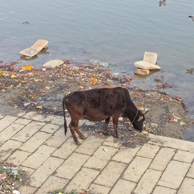 Quel fut le spectacle le plus dur à Varanasi, la vache ou l'état du Gange?