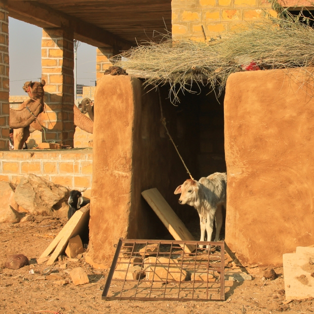 Biquettes élévées pour leur laine et leur lait.IMG_1164-1