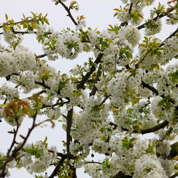 Cerisier  IMG_6843-1
