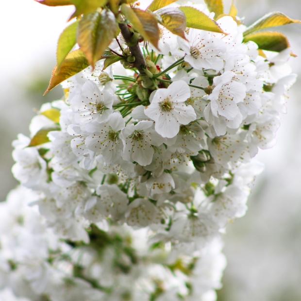 Cerisier  IMG_6864-1