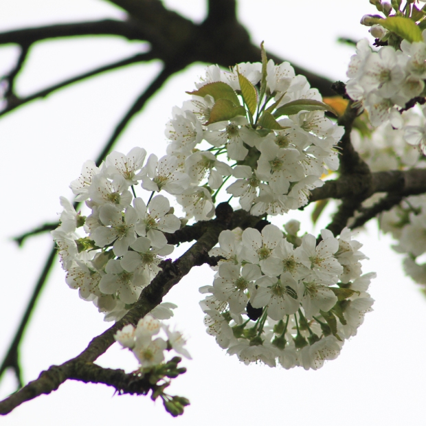 Cerisier  IMG_6869-1