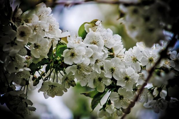 Cerisier  IMG_6871-1
