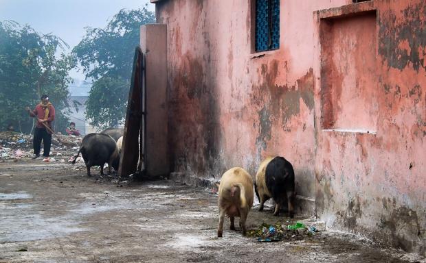 Les cochons nettoient les rues à Delhi