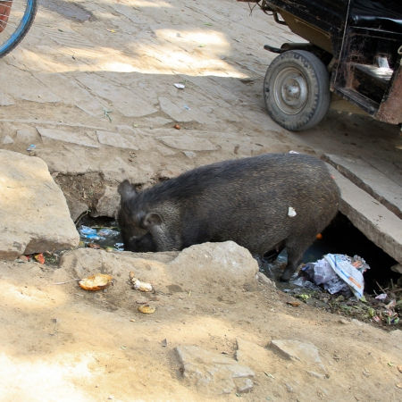 Cochon IMG_2466-1