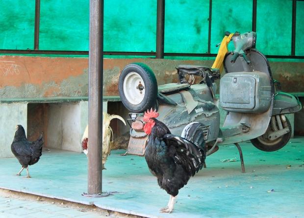 Coq à Jaïpur IMG_4468-1-2