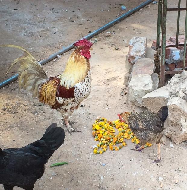 Coq à Jaïpur  IMG_9785-1
