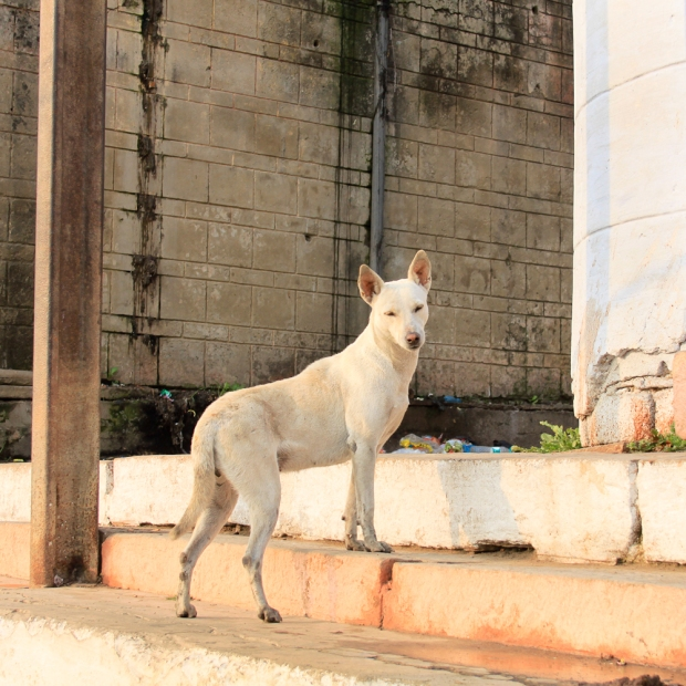 Dog Benares IMG_5913-1