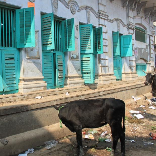Holy cow  à Benares IMG_6025-1