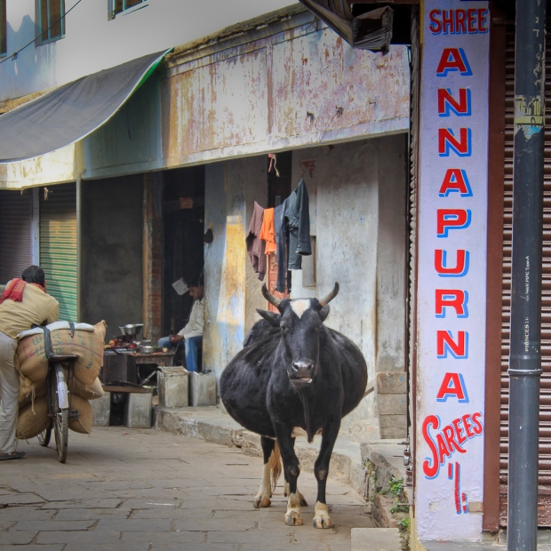 Holy cow  à Benares