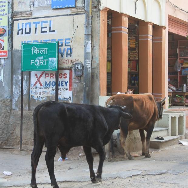 Holy cow  à Mandawa IMG_0250-1