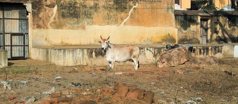 Il y aurait en Inde 45 millions de vaches IMG_9714-1-2