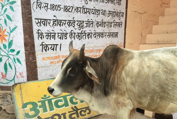 Holy cow à Bundi  -1