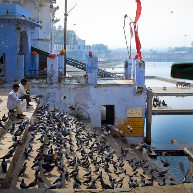 Nuées de pigeons sur les ghats à Pushkar