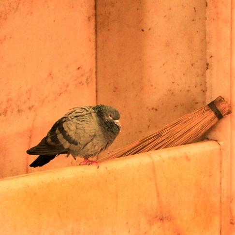 Pigeon IMG_0834-1