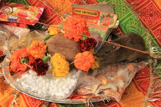 Rat qui mange les offrandes