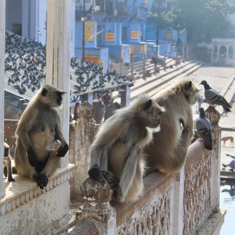 Singes  sur les ghats à Pushkar