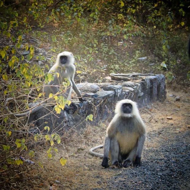 Les singes sont respectés, surtout dans les temples , mais eux, c'étaient nos vilains assaillants!