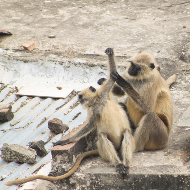 Les singes symbolise la force et la sagesse , eux étaient mignons, ils logeaient sur le toit d'une maison en face du roof top restaurant où nous déjeunions.