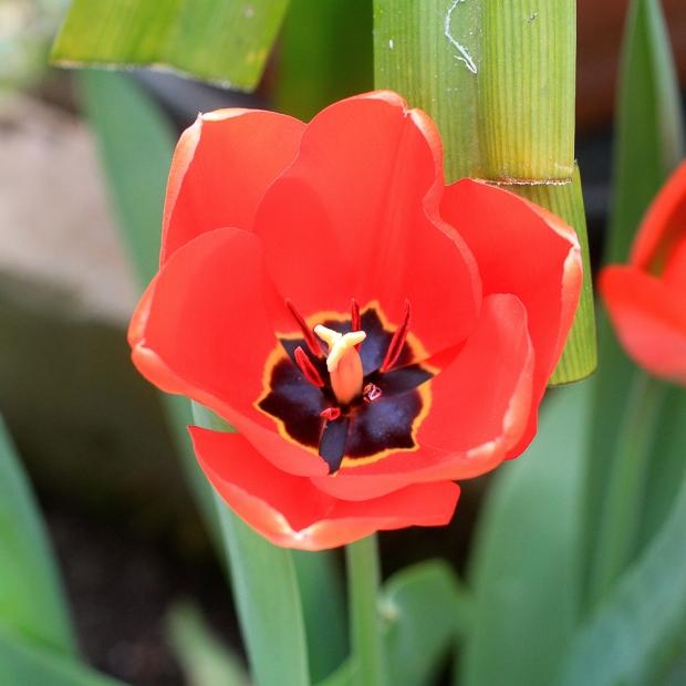 Tulipe IMG_6902-1-1