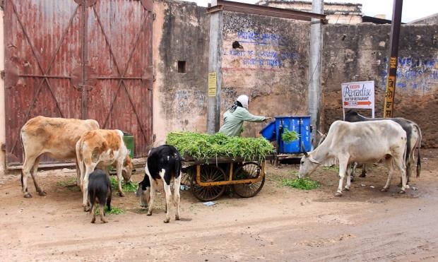 Le nourrisseur de vache à Udaïpur