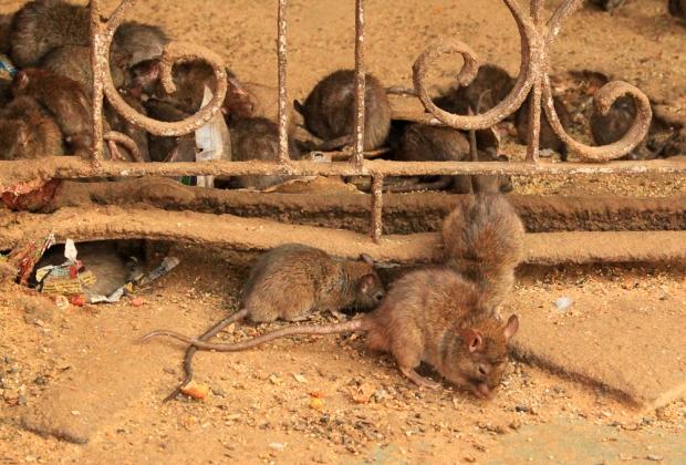 Drôles de petites bêtes tous ces rats!