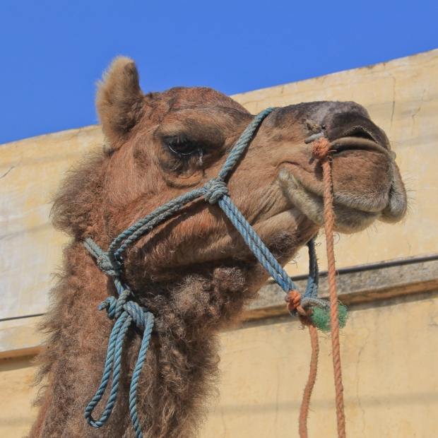 Kamel à l'oeil qui pleure.