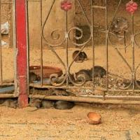 A Deshnoke, le Karni Mata, le temple des rats sacrés (1)