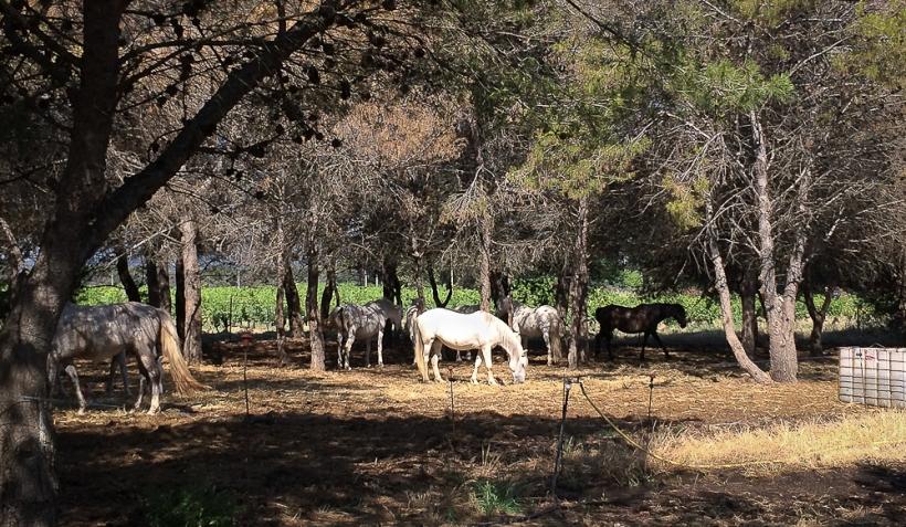 Horses IMG_2263-1-1