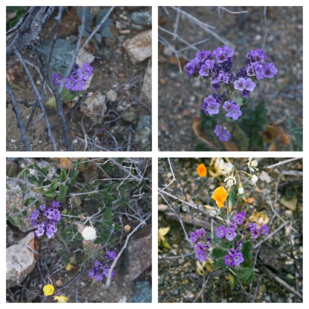 Desert Center Violet