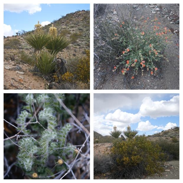 Desert Center Yucca 1