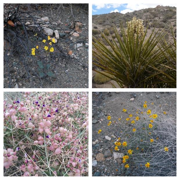 Desert Center Yucca 2