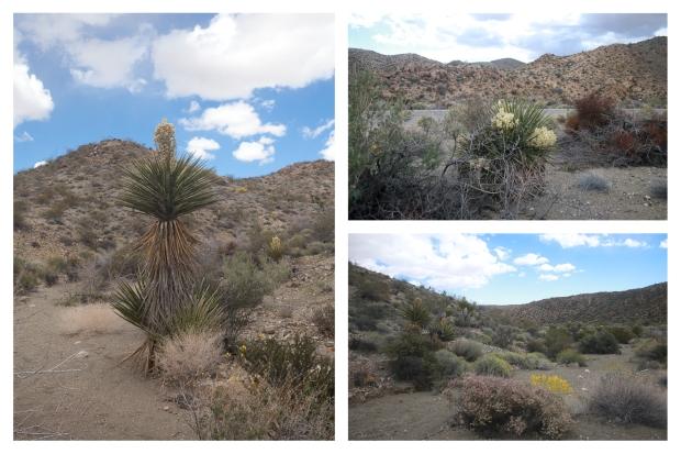 Desert Center Yucca