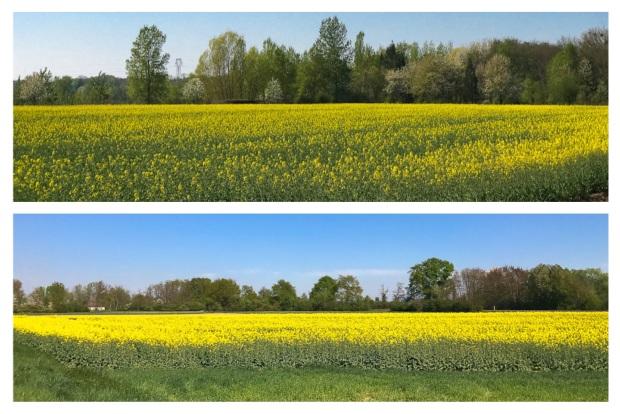 Springtime Colza 2.jpg