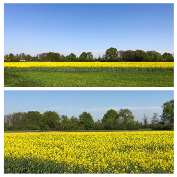 Springtime Colza .jpg
