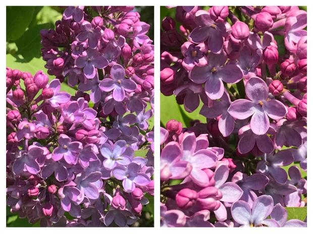 Springtime Lilas.jpg
